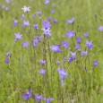 "Common ""Wildflower"" Weeds that Pop up in Your Yard - Five Star Landscaping - Yard Weeds Experts Calgary"